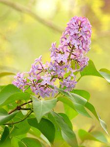 Lilac Flowers - Gerbers Fine Art