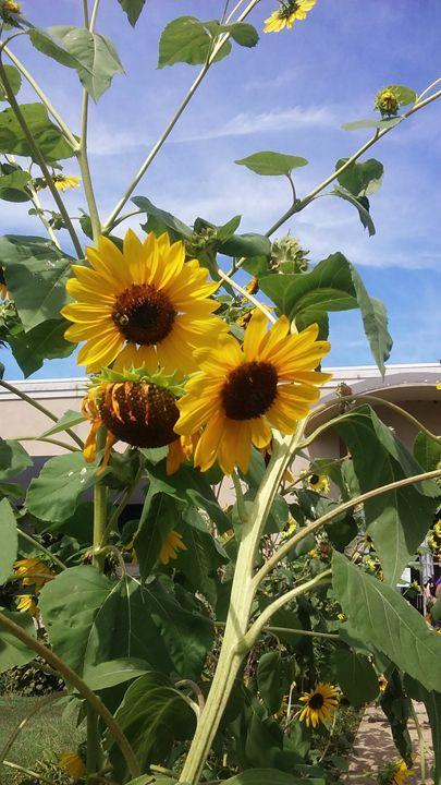 Sunflowers - Ravencassidy