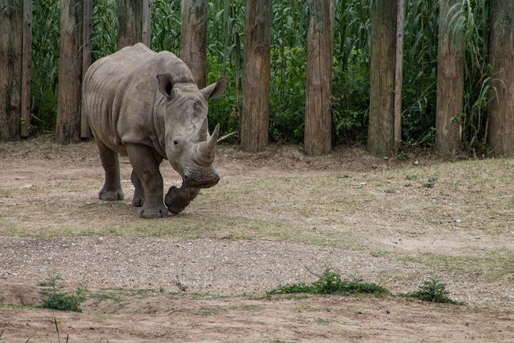 Rhino - Mollie Backode