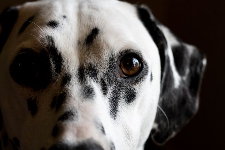 Dalmatian - Mollie Backode