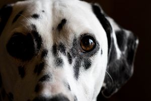 Dalmatian - Mollie Backode