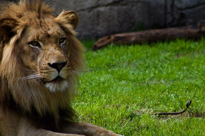 African Lion - Mollie Backode