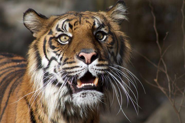 Tiger - Mollie Backode