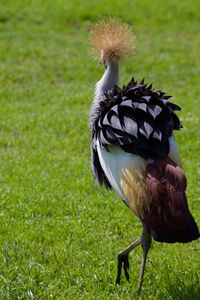 Crowned Crane - Mollie Backode