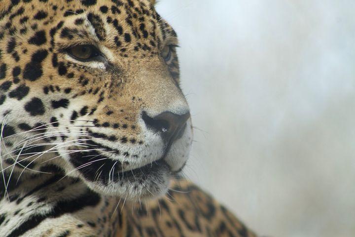 Jaguar - Mollie Backode