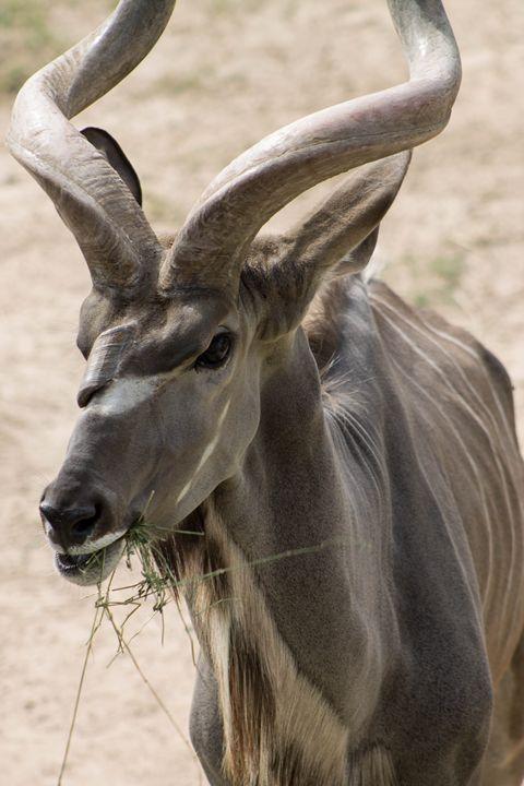 Greater Kudu - Mollie Backode