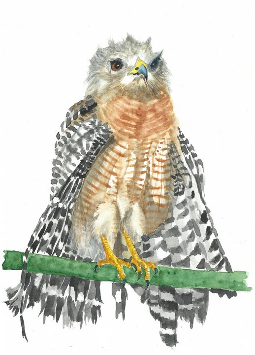 Red shouldered hawk - REV Originals