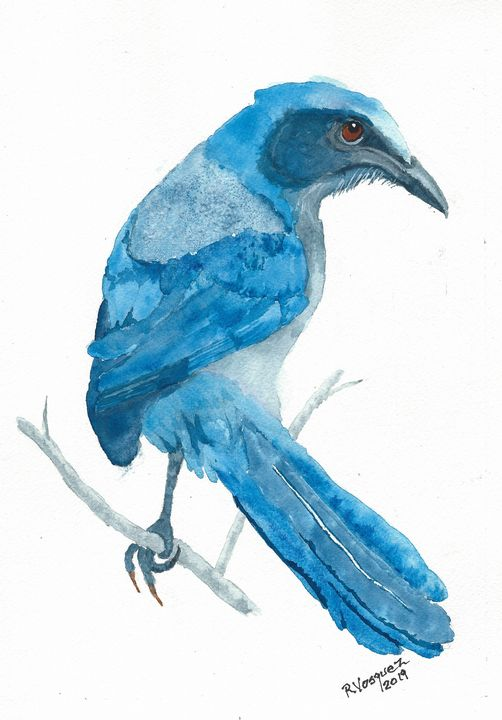 Florida scrub jay - REV Originals