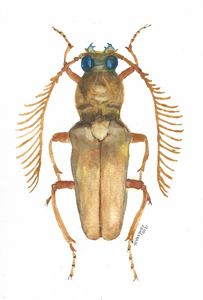 Longhorned beetle - Cerambycidae
