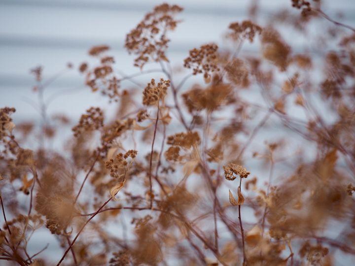 Brown Bush - Liana