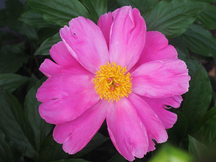 Gerber Daisy - Liana