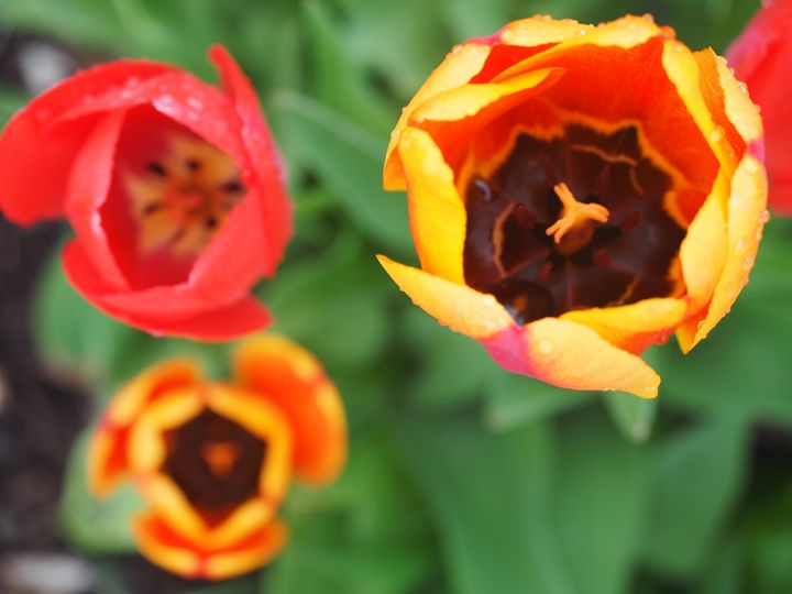 Tulips - Liana