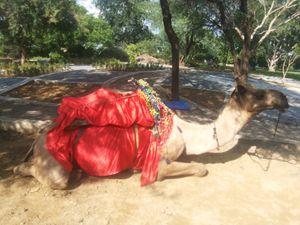 SMILING CAMEL - Baroque Gallerist