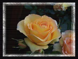 A Peach Of A Rose