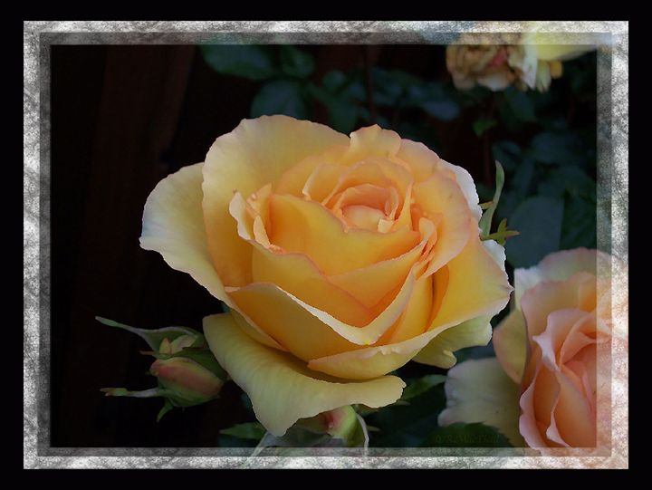 A Peach Of A Rose - PhotoArt by Barbara R MacPhail