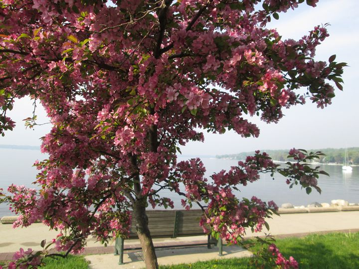 Spring Tree by the Lake - Kitty