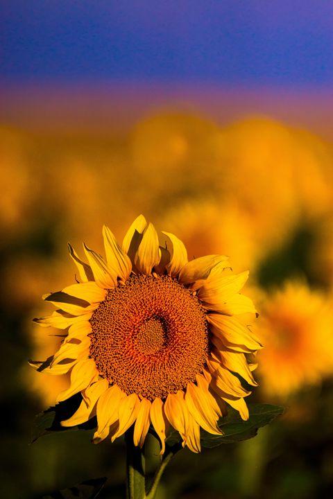 Sunflowers In Colorado - John De Bord Photography