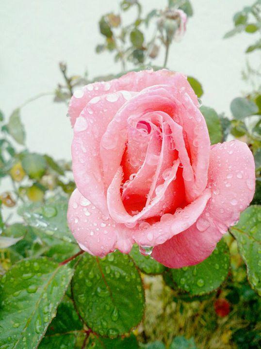 pink rose - gg