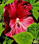 Winter Hardy Hibiscus