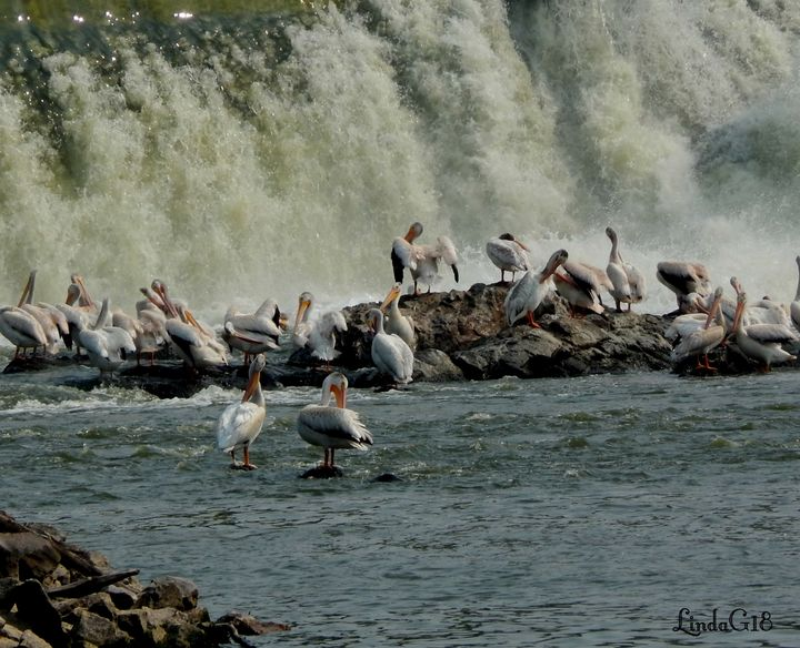 Pelicans by the Falls - Abstract wild art