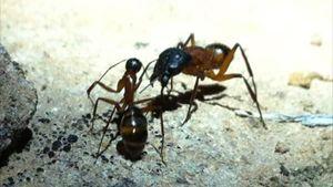 Communicating ants