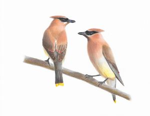 Cedar Waxwing pair