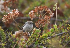 Bushtit in California buckwheat