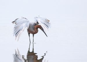 Reddish Egret -- high key