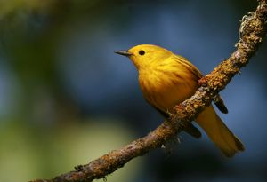 Yellow Warbler in a sunbeam