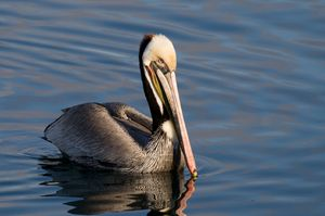 Brown Pelican floating on the bay