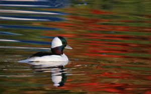 Bufflehead swimming in autumn colors