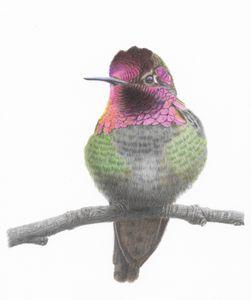 Anna's Hummingbird--fiery gorget