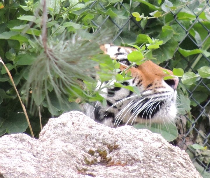 Hiding Tiger - Amber.hunt01