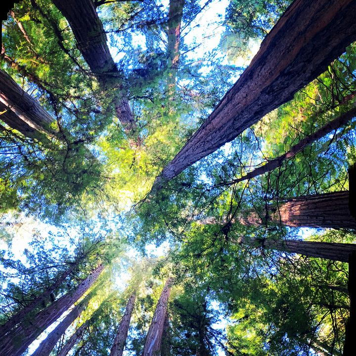 Redwood Trees - Vyctorieah