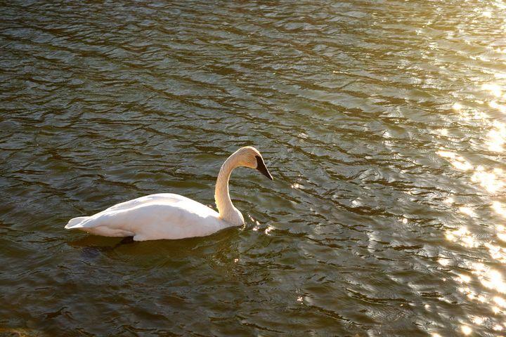 White Duck - Creative Gallery