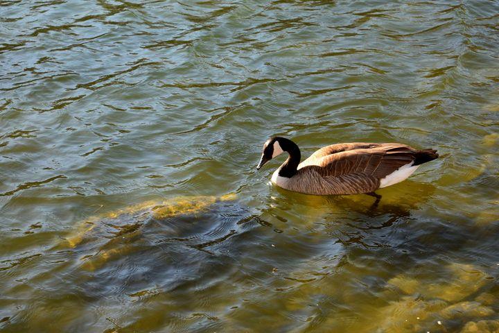 Canada Goose - Creative Gallery
