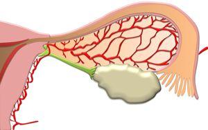 The fallopian tube and ovary