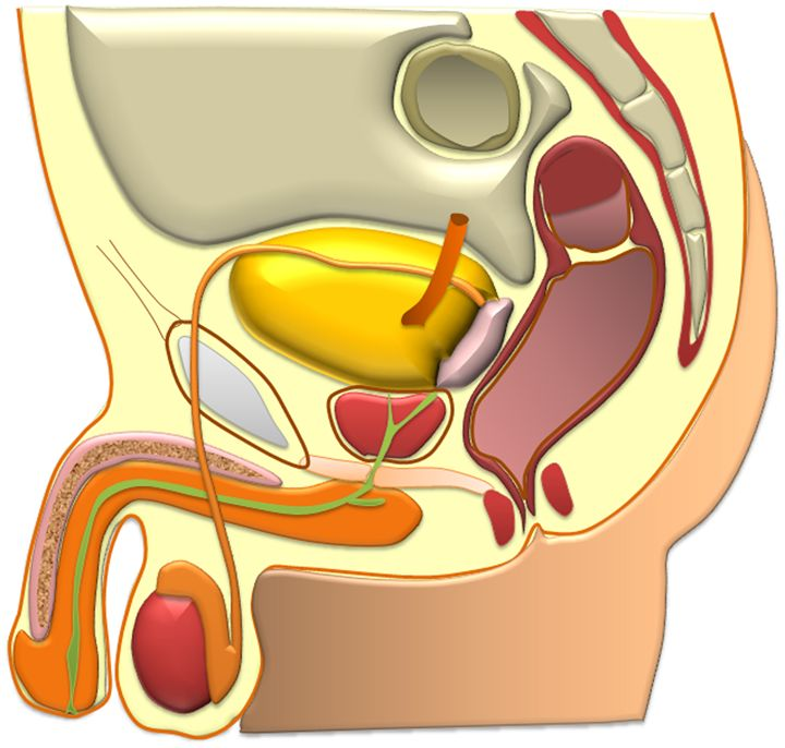 Male reproductive organs - TheDanAcademy