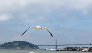 San Francisco Sea Gull