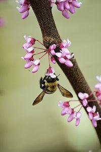 Bee and Redbud
