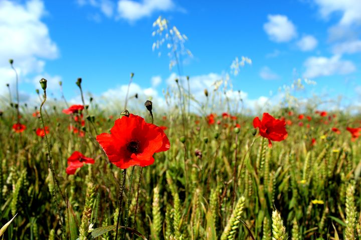 Poppies in the Wheat - Urban Faced