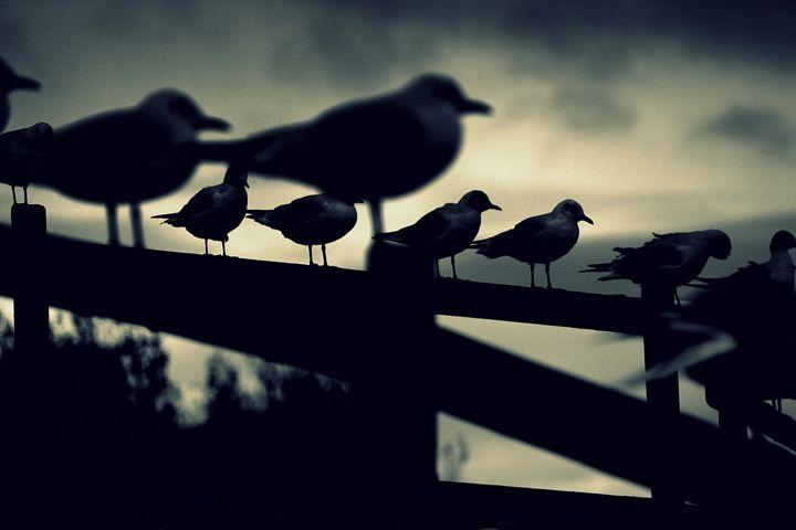 Gulls - Urban Faced