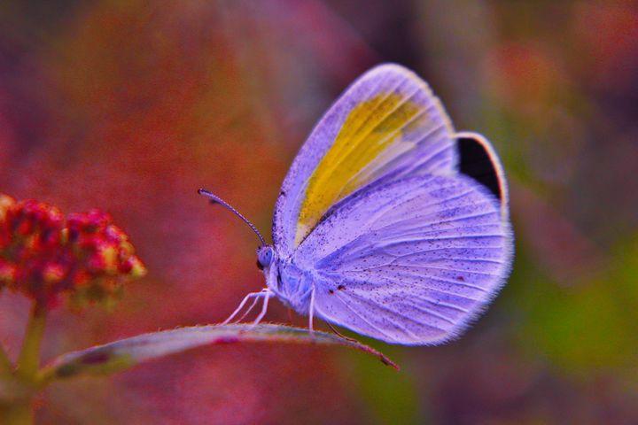 Blissful Butterfly - B.A. Butterfly Pics