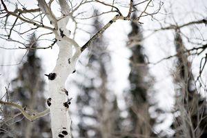 Aspen in Winter 2