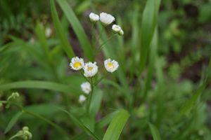 Baby White Flowers