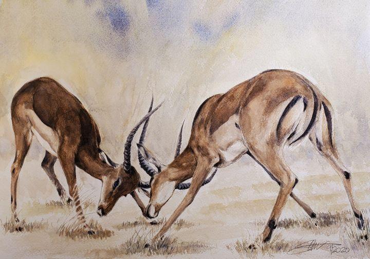 Young Impala bucks - Stewart Shang
