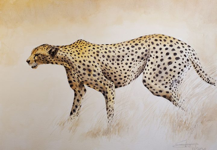 Cheetah on the prowl - Stewart Shang