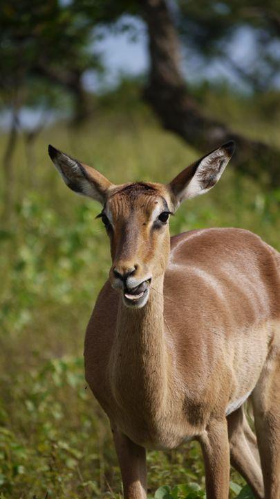 Deer - Shanya Blayde Art