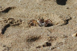 Cave Rock Crab