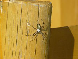 Wasp spider on wood element